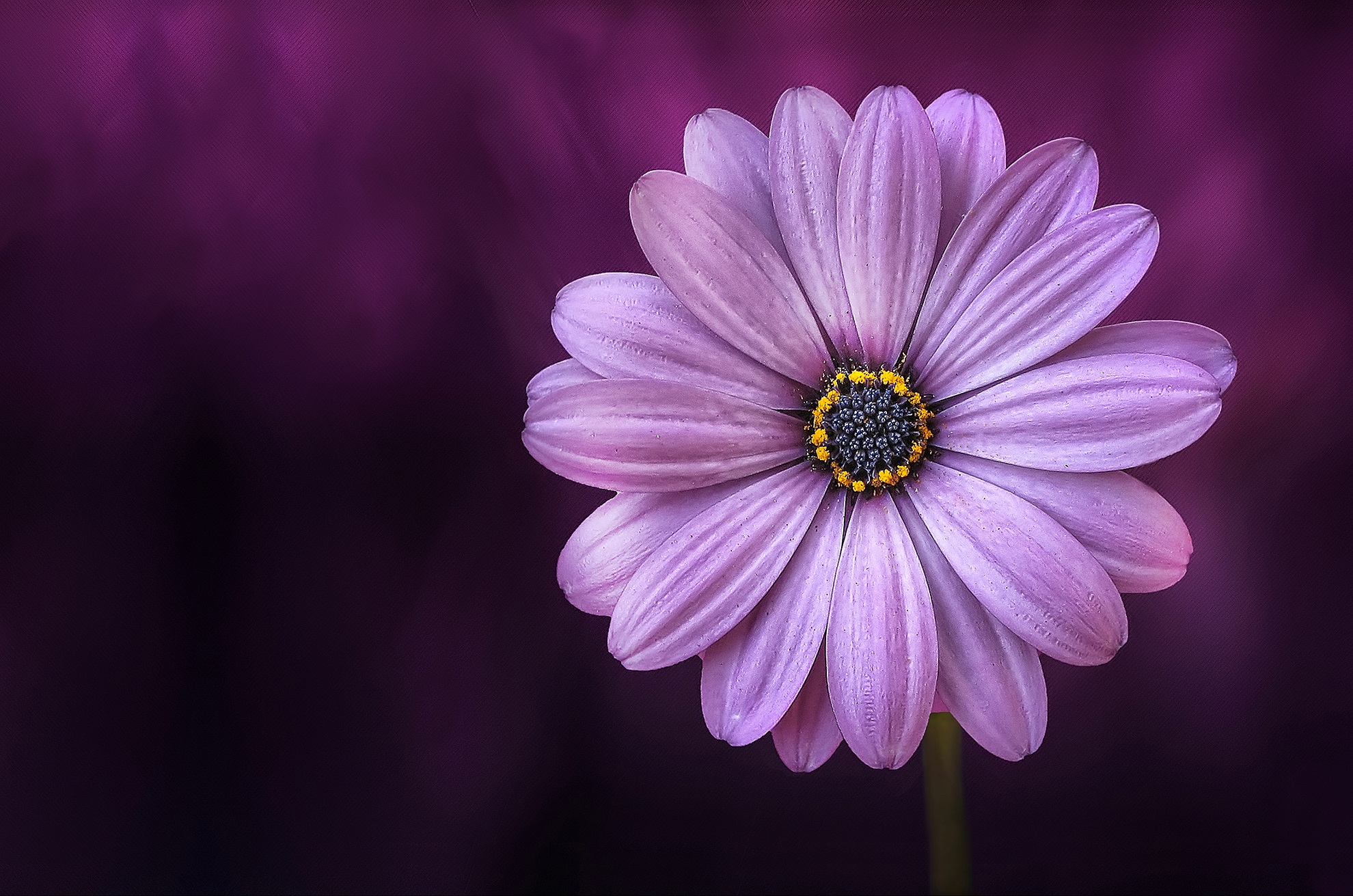 Jo Dover Purple Daisy